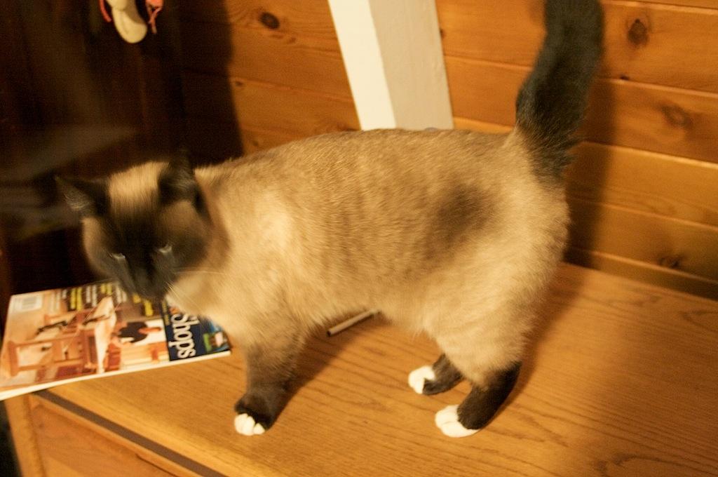 Missing Siamese Cat Corbin S Treehouse