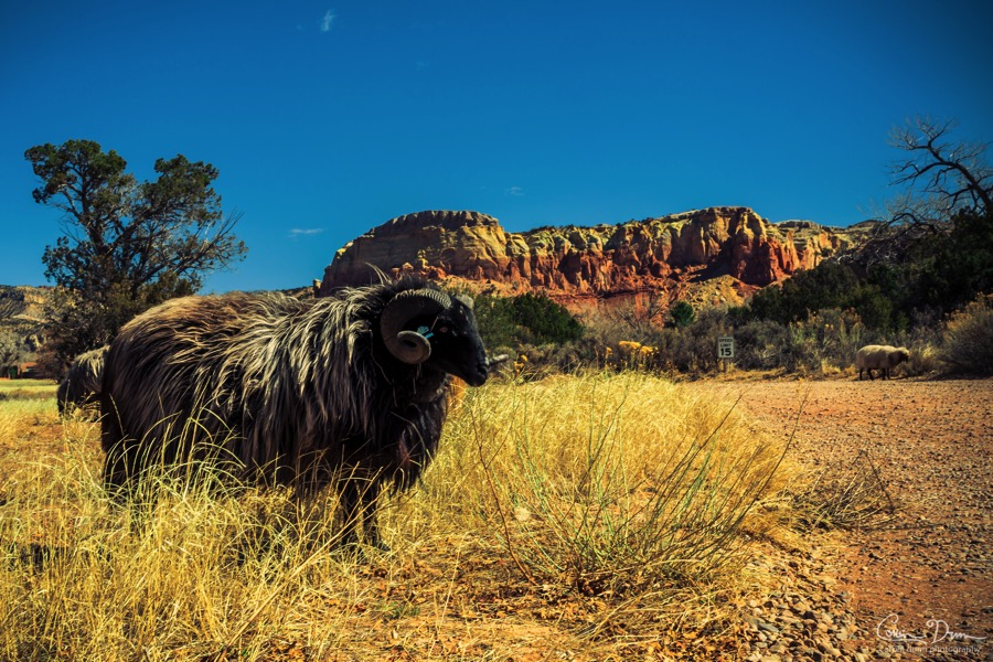 Ghost Ranch Sheep  W1A4764 2