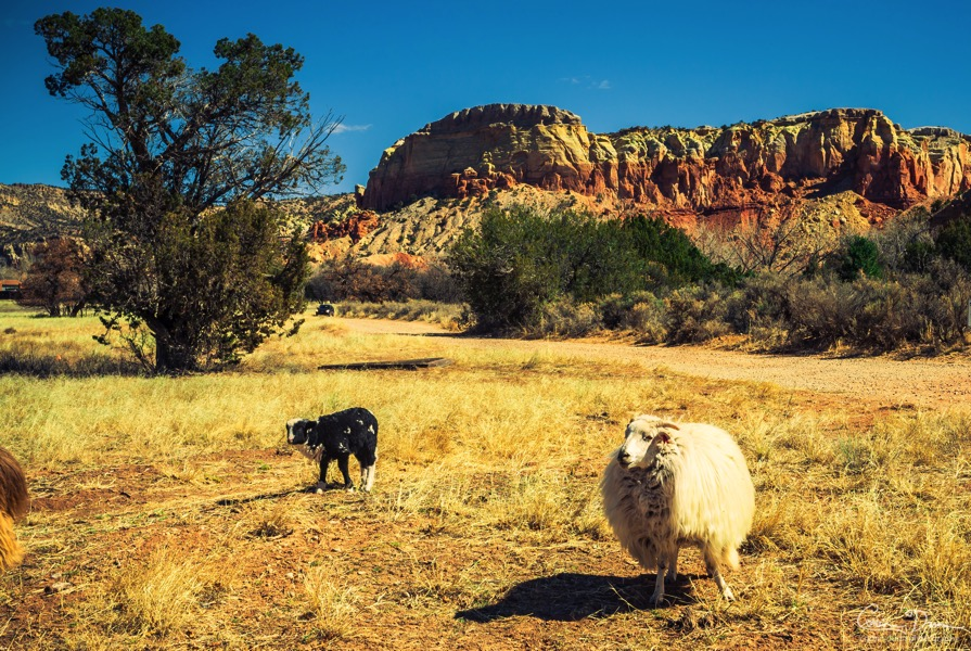 Ghost Ranch White Sheep W1A4766 2